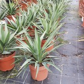 Yucca Plants in pots  hire